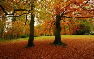 What is killing beech trees?